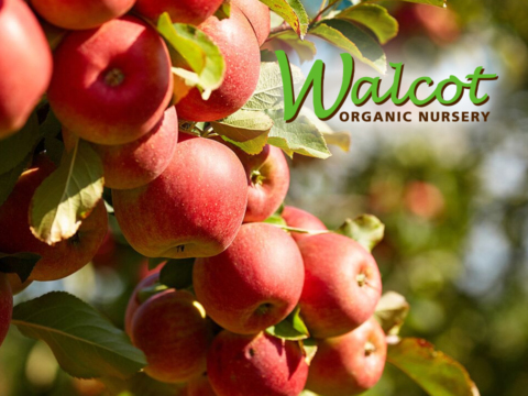 Close up of ripe apples on Walcot website home page